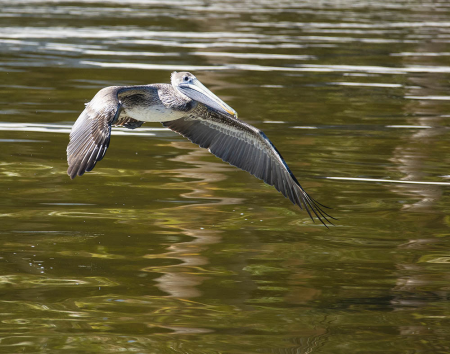 Brown Pelican on the Wing