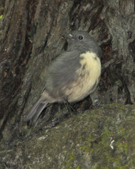 New Zealand Robin (toutouwai)